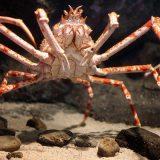 Японский краб-паук или гигантский краб