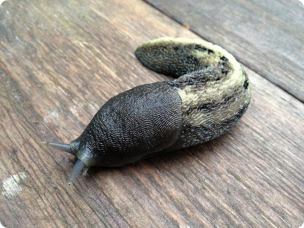 Сизо-черный слизень (лат. Limax cinereoniger)