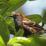 Хохлатая гавайская цветочница