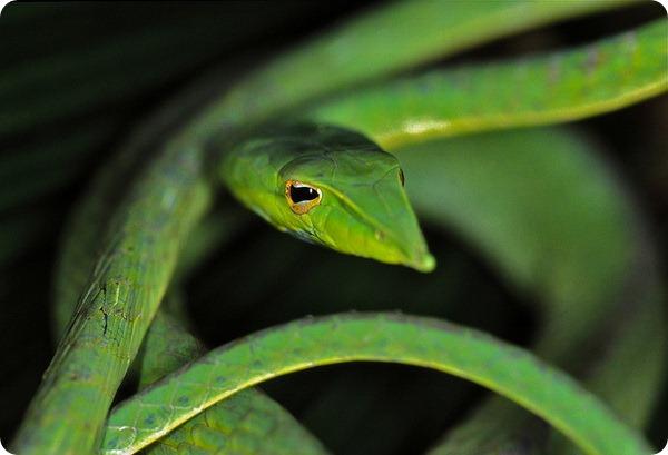 Длиннорылая (носатая) плетевидка (лат. Ahaetulla nasuta)