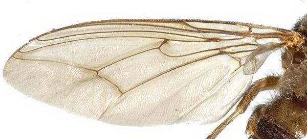 Муха цеце (лат. Glossina)