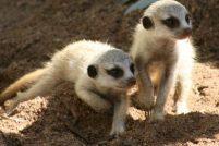 В зоопарке Таронга дебют детенышей сурикатов