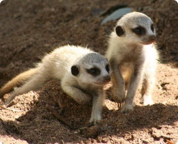 В зоопарке Таронга состоялся дебют детенышей сурикатов