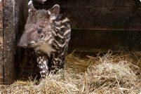 Детеныш тапира из зоопарка Вроцлава