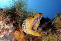 Уникальные фотографии саблезубой мурены