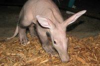 В Henry Doorly Zoo состоялся дебют трубкозуба