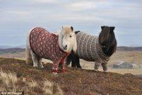 Шотландские свитера для шотландских пони!