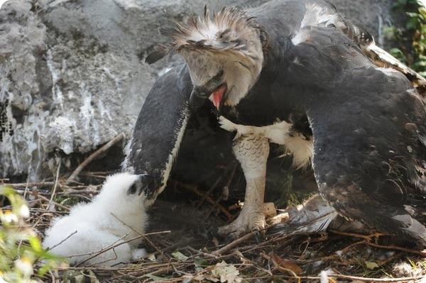 В зоопарке Майами вылупился птенец южноамериканской гарпии
