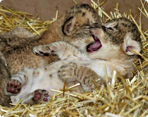 В зоопарке Омахи родилось пятеро львят