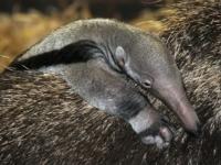 В зоопарке Честера родился детеныш муравьеда