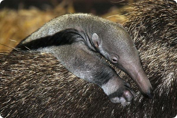 В зоопарке Честера родился детеныш гигантского муравьеда