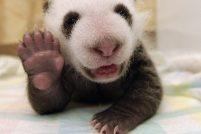 Новорождённый детёныш панды из Китая