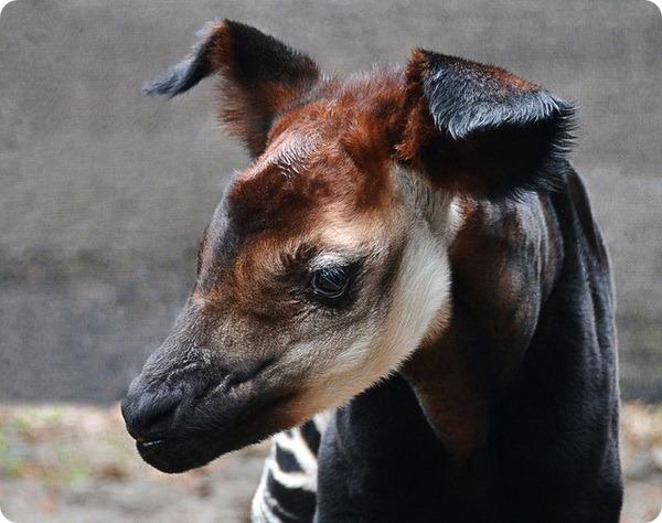 Малыш окапи из Lowry Park Zoo