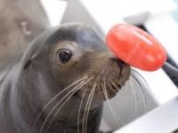 Курс реабилитации для морских львят