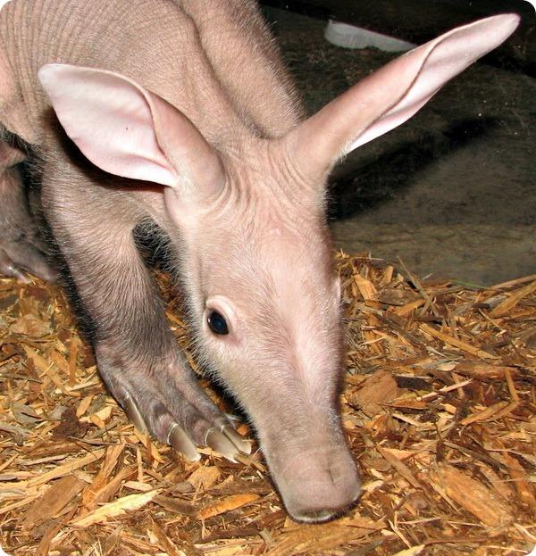 В Henry Doorly Zoo состоялся дебют детеныша трубкозуба