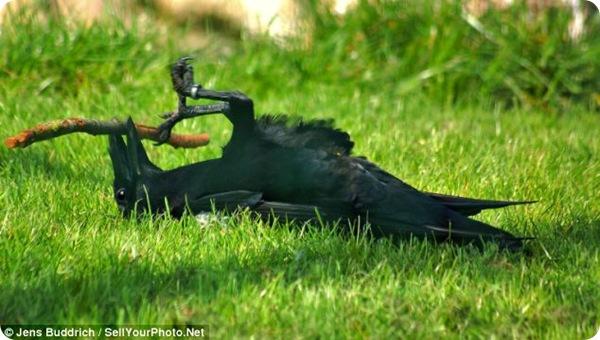 Ворон, играющийся с веточкой