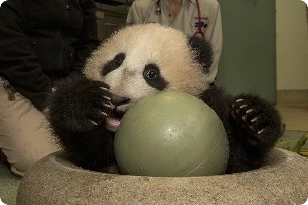 Первая прогулка детеныша большой панды из зоопарка Сан-Диего