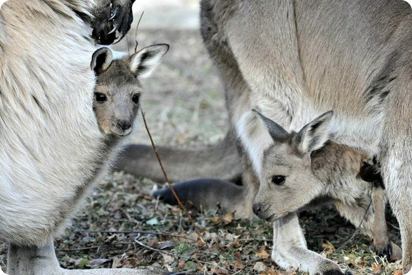В зоопарке Brookfield Zoo родились детеныши серого кенгуру