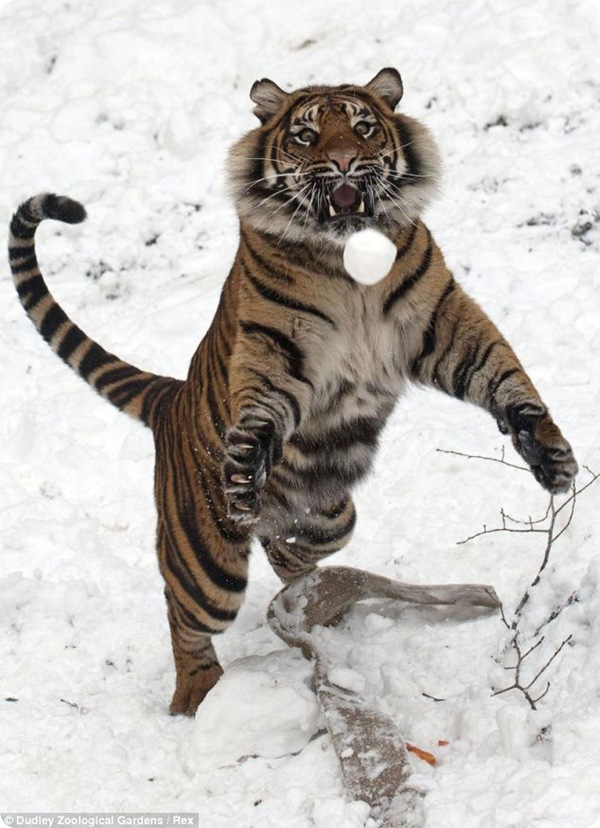Тигрица и снежки