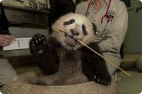Первая прогулка панды из зоопарка Сан-Диего