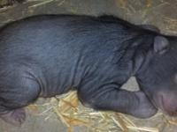 В Айдахо-Фолс родились редкие медвежата