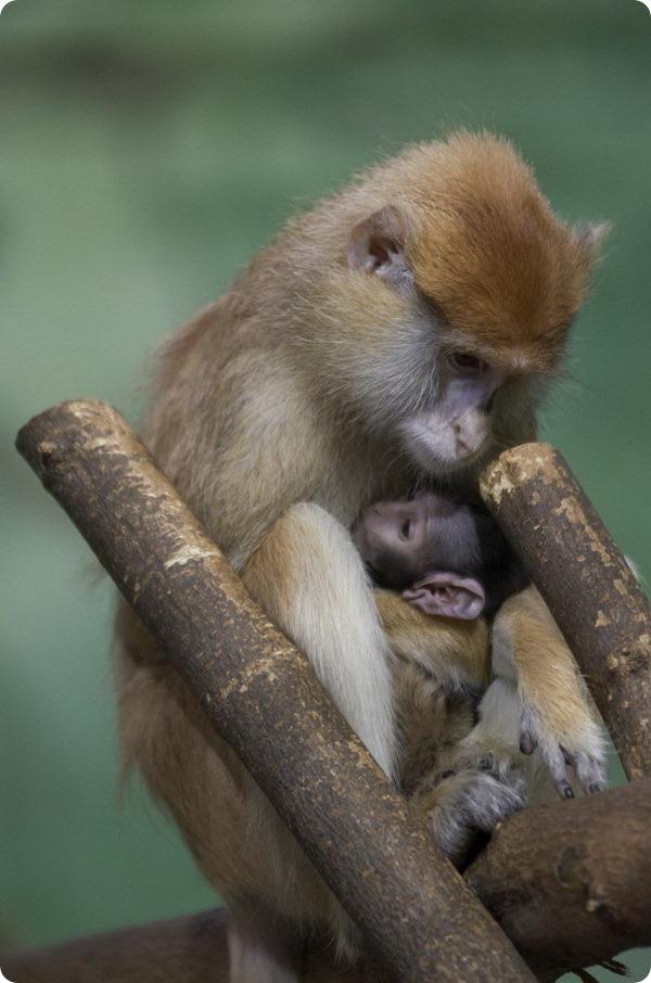Детенышу красной мартышки из американского зоопарка дали имя