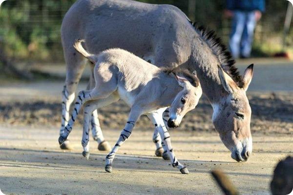 Сомалийский дикий ослик из зоопарка Базеля