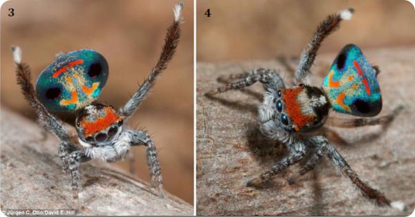 Брачный танец паука-павлина