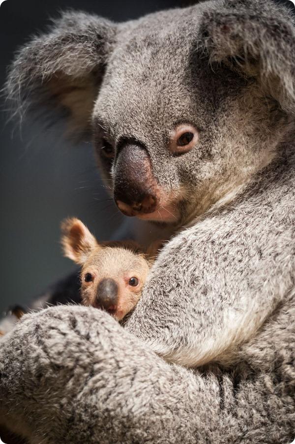 Детеныш коалы впервые увидел мир