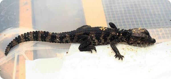 В зоопарке Загреба вылупились первые детеныши каймана