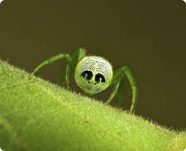 Крестовик Araneus praesignis