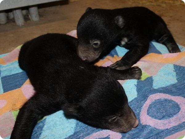 В зоопарке Айдахо-Фолс родились медвежата редкого вида
