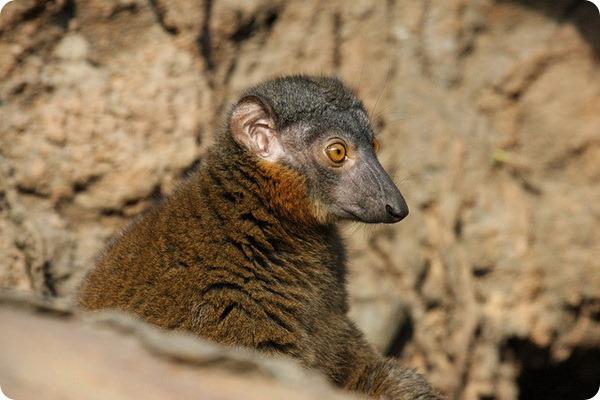 Красноошейниковый лемур (лат.Eulemur collaris)