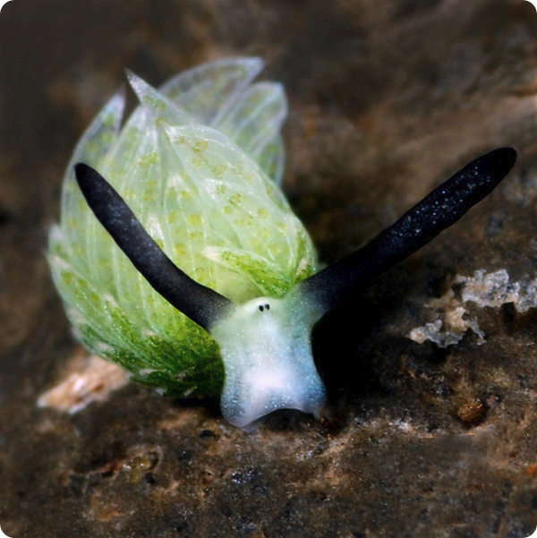 Морской слизень Costasiella usagi