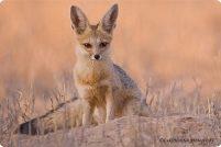 Южноафриканская или серебристая лисица