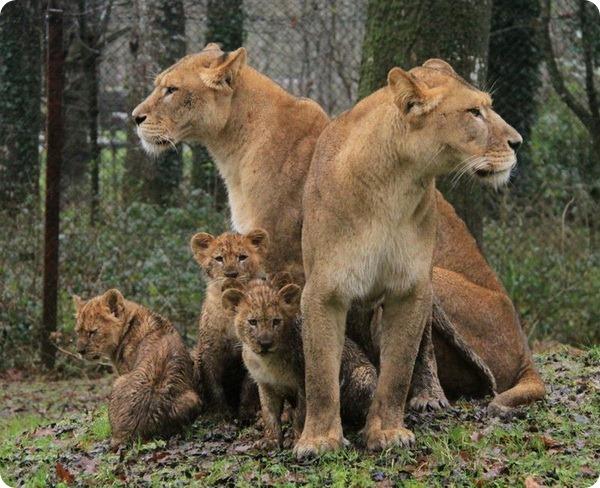 Львята из английского сафари-парка Лонглит