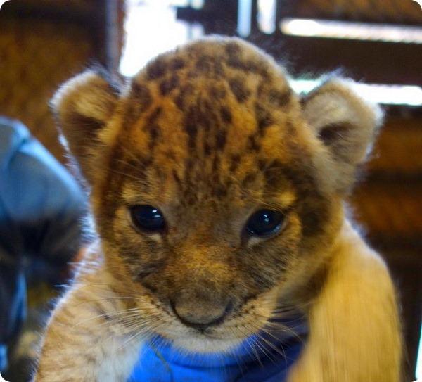 Трое львят родилось в зоопарке Гонолулу