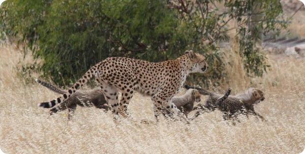 Пятеро гепардят из зоопарка Манарто