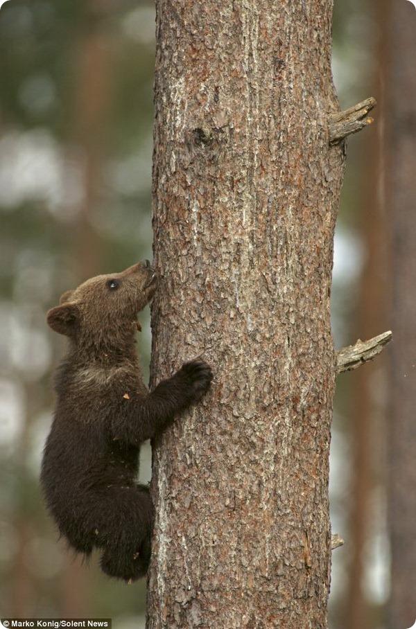 Медвежьи забавы