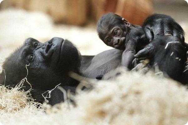 Западная равнинная горилла из зоопарка Праги стала мамой