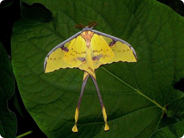Павлиноглазка мимоза (лат. Argema mimosa)