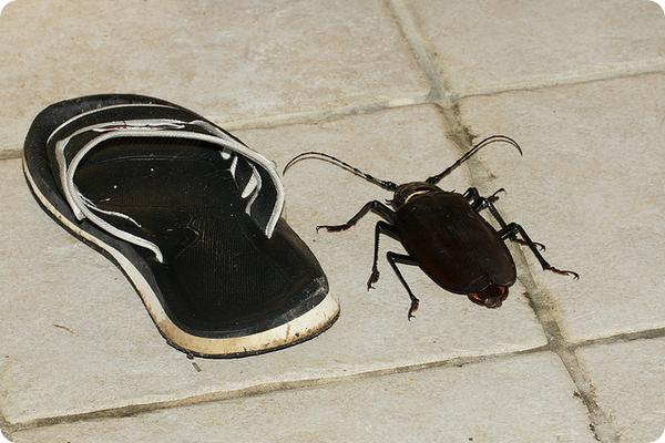 Жук Дровосек-титан (лат. Titanus giganteus)