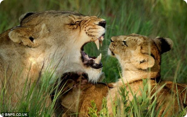 Львиный прайд встречает рассвет