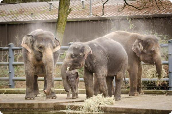 Слоненок по имени Лили из зоопарка Орегоны