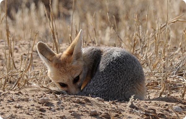 Южноафриканская или серебристая лисица (лат. Vulpes chama)