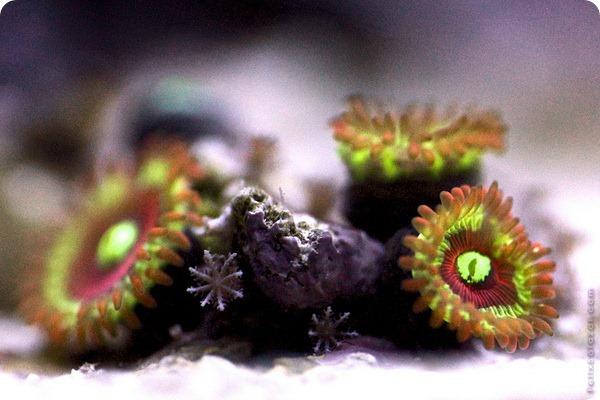 Красочные кораллы от Феликса Салазара