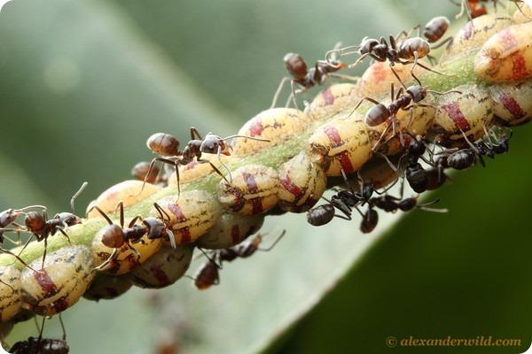Древесные муравьи Azteca sp.
