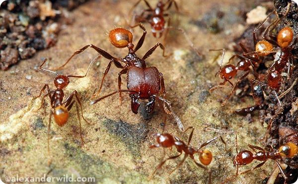 Большеголовые муравьи Pheidole sp.