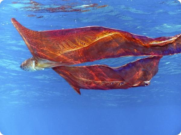Фиолетовый тремоктопус, или парящий осьминог (лат. Tremoctopus violaceus)