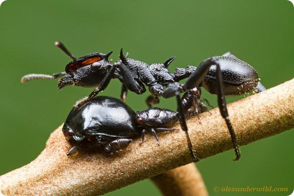 Гигантский муравей-черепаха Cephalotus atratus
